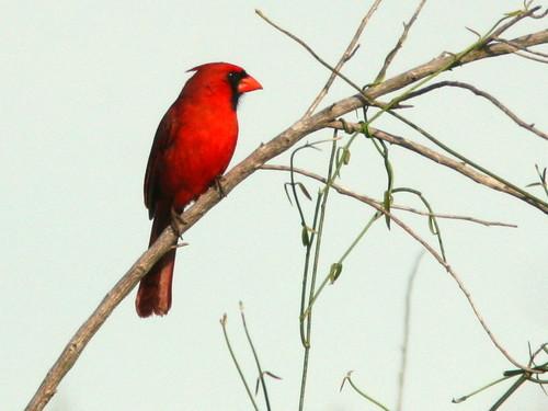 Northern Cardinal 20100403