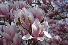 DSC03003 (ToldiZ) Tags: flower virg