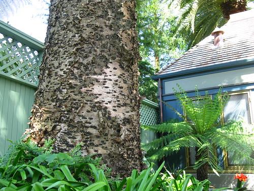 Araucaria trunk