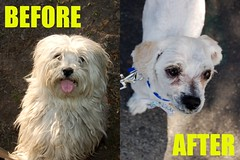 Maltese Before & After