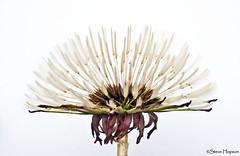 Dandelion Flower (Steve Hopson) Tags: usa flower macro austin texas dandelion austintexas taraxacum dandelionflower parachuteball