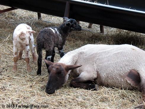Random Lamb Cute 5