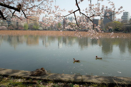 Cherry blossoms & Ducks