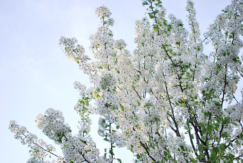 white flowered tree
