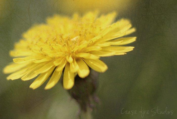 04-15-dandelions2