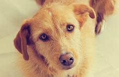 Iriseta, mon amour (*Brbara* Cannnela) Tags: iris dog dogs happy sweet perros perra lvm