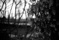 Flowering currant (richard314159) Tags: blackandwhite film canon kodak photograph 135 40mm coventry canonet ql17 giii xtol f17 adox ortho25 richard314159 bfm0410 20100415acanonetbfm0410bog