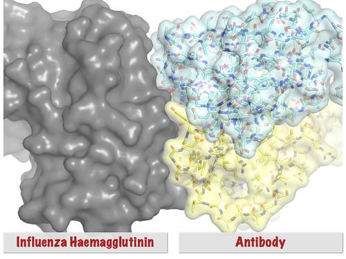 Antibody-Haemagglutinin Complex