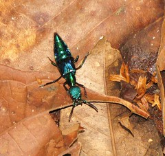 Unidentified Rove Beetle by Bigal River Conservation Project