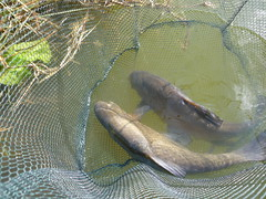 Tench double banger (CraftmaticAdjustableBed) Tags: double tench newlands 6lb surmans