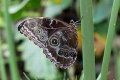 baudchon-baluchon-mindo-papillons-20