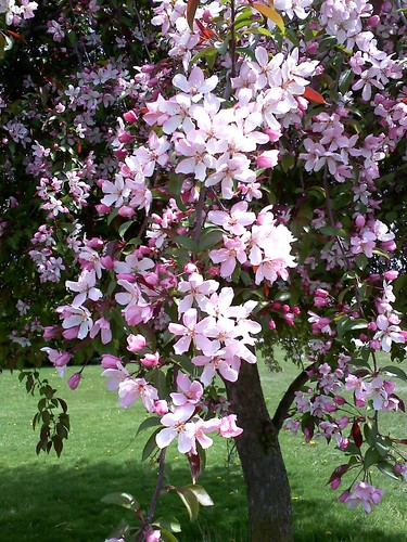 The Crabapple Tree, Spring 2010