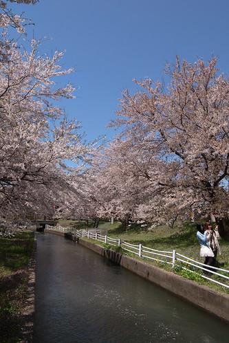 桜の花、舞い上がる道を