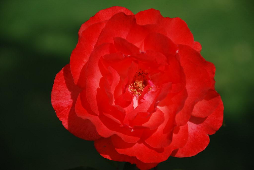 Not a carnation