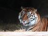 Tiger (A Great Capture) Tags: toronto ontario canada animal cat zoo metro tiger can to torontozoo on ald ash2276 ashleyduffus ©ald ashleysphotographycom ashleysphotoscom ashleylduffus wwwashleysphotoscom