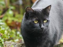 Her shiny blackness, Pip (Jan Gee) Tags: pet cats black animal cat chats furry katten kat feline chat noir kitty gatos gato pip gata katze zwart gatto katzen gatti negra poes schwarz kot noire
