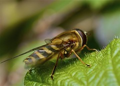 Hoverfly (Danny Gibson) Tags: flower macro up closeup 35mm insect fly close olympus hoverfly macrophotography