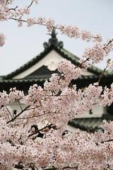 Hirosaki Sakura Festival, Aomori, Japan (shinyai) Tags: castle japan aomori 桜 sakura hirosaki 青森 弘前 弘前城 弘前公園