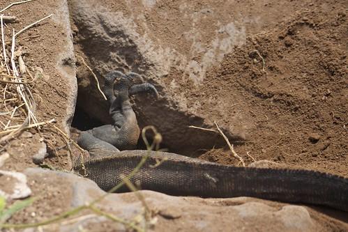 Marine Iguanas (Amblyrhynchus) Digging a Nest