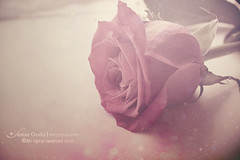 Lovely tone (s@mar) Tags: pink flower rose soft blossom pastel tone pastelsofttone