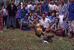 30041980 (wolfgangkaehler) Tags: people bali animal animals indonesia fight asia southeastasia contest fighting cockfight gamecock gamecocks fights cockfights localpeople contests cockfighting baliindonesia peoplewithanimals localcontest animalsfighting peopleworldwide localcontests