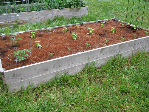Tomatoes, Basil, Dill, and Cucumbers