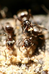 Invasion of the ants (Ruud Grtz) Tags: macro up work 50mm sand rocks close ant hard 85mm ring ants reverse carry carrying