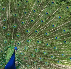 Peacock, squared (langkawi) Tags: blue berlin male green nature bench ilovenature poser rad peacock langkawi augen pfaueninsel wannsee pfau mayur peacockisland naturesfinest indiannationalbird