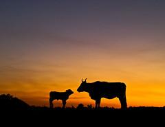Una madre y su nio (Nicolas Patio) Tags: cow young moms da chan lagoa serra calf patio vaca baiona nicols ternero elhombrequesusurrabaalosterneros fsuro170510230510