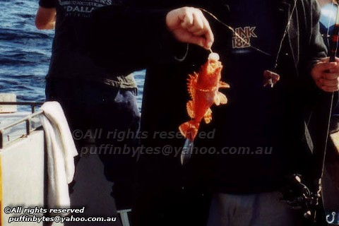 Eastern Red Scorpionfish - Scorpaena cardinalis