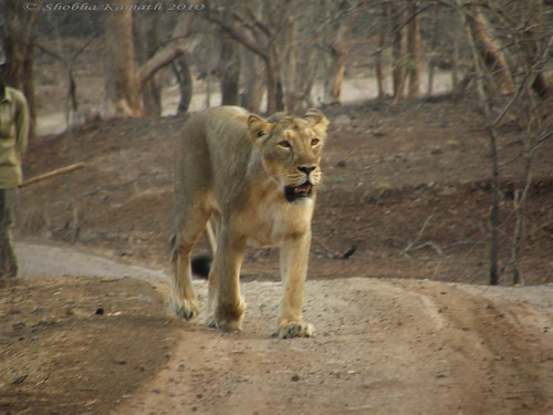 Lioness crossing the road