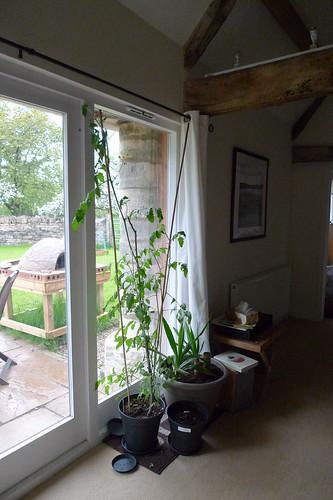 Tomato plants gone wild