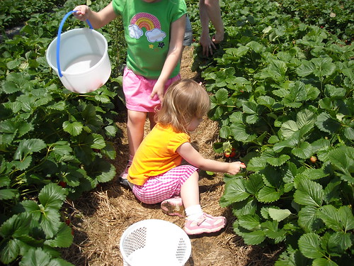 Page farm strawberry picking