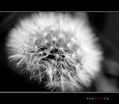 Diente en ByN (vanbreack) Tags: blackandwhite bw flower macro byn blancoynegro flor dientedeleon cruzadas