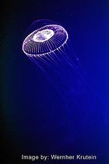 Jellyfish (Vern Krutein) Tags: water animal jellies jellyfish sealife carnivorous animalia invertebrate carnivores cnidaria cnidarians scyphozoa