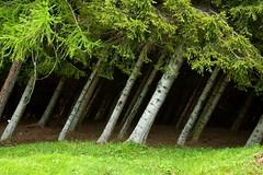 vento (Lace1952) Tags: alberi nikon vento bosco d300 abeti nikkor18200vr larici valbognanco