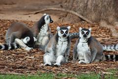 Mammals_Dubbo_NSW_May 2009_DSC_7722_2_D (renrut01) Tags: white black eyes newsouthwales lemurs mammals dubbo