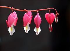 Gebroken hartjes (Coanri/Rita) Tags: flowers garden bleedingheart heartshaped onblack dicentraspectabilis lamprocapnosspectabilis gebrokenhartjes challengegamewinner oldfashionedbleedingheart
