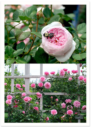 Pink Roses & Bee