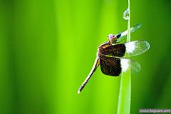 _MG_7047 (yazee_harun) Tags: morning green fauna butterfly flora paddy malaysia padi kampung sawah perlis flickraward