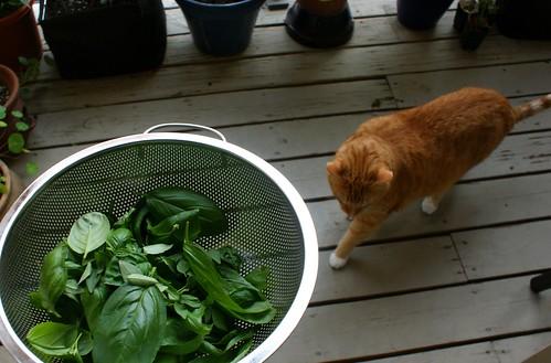 basil harvest plus cat