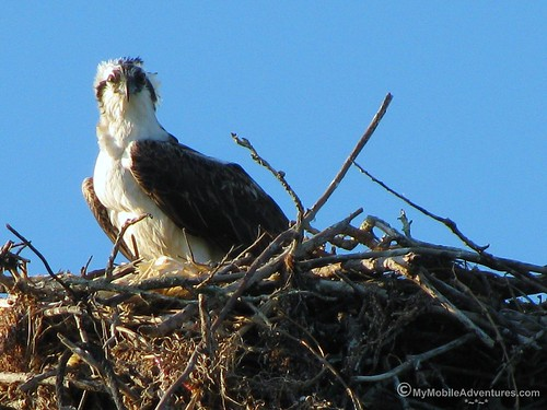 IMG_3877-Sanibel-Lighthouse-Beach-Osprey