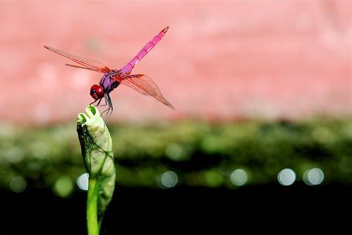 蜻蜓 ~ 原版