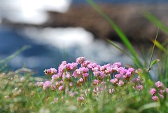 Sea Pink (Yellabelly*) Tags: pink ireland irish flower flora thrift clifftop countyclare seathrift seapink loophead
