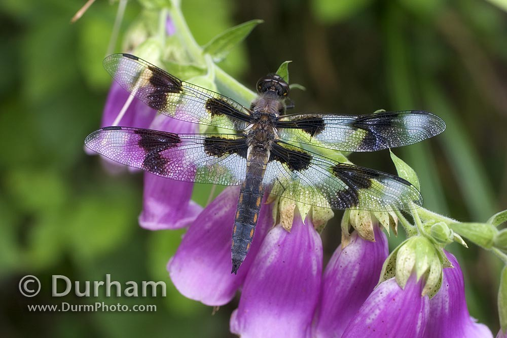 male eight-spotted skimmer dragonfly (Libellula forensis)