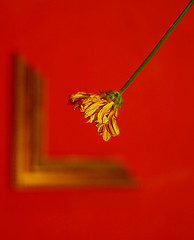 (Ebtesam.) Tags: red flower 35mm jeddah وردتي جدار احمر nikond40x مكسور برواز ابتسام ebtesam الذبلانه