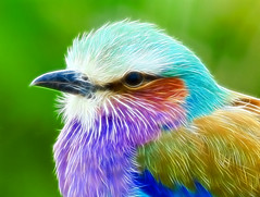 I just had to show you this ..... (Steve Wilson - over 4 million views Thanks !!) Tags: africa uk blue red portrait england color colour cute green bird colors beautiful up closeup photoshop zoo nikon colorful aqua colours close cheshire britain african pastel background great beak feathers lavender conservation chester lilac stunning roller plugin fractal savannah colourful d200 plains avian russet upton chesterzoo breasted lilacbreastedroller nikond200 fractalius caughall