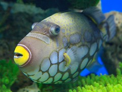 Clown Triggerfish (julesnene) Tags: fish aquarium colorful behindtheglass innocentlooking clowntriggerfish balistoidesconspicillum julesnene manilaoceanpark bigspottedtriggerfish juliasumangil indowestpacific aggressivecarnivore spectacularmarinespecies oceanparkphilippines