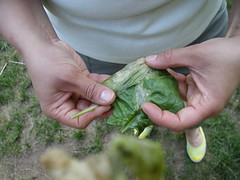 Adriana holds a spinach leaf affected by leaf miner