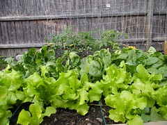 their lettuce nearing harvest time